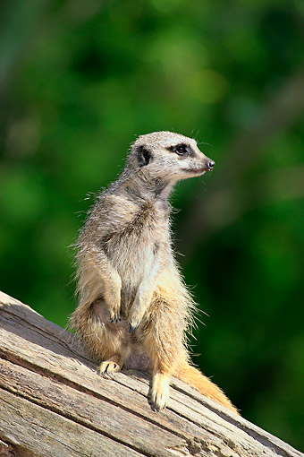 AFW 12 AC0013 01 © Kimball Stock Meerkat Standing On Log In Africa