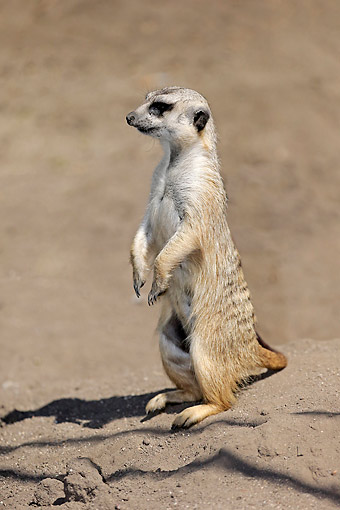 AFW 12 AC0014 01 © Kimball Stock Meerkat (Also Called Suricate) Standing Calm But Alert In Little Karoo, Western Cape, South Africa