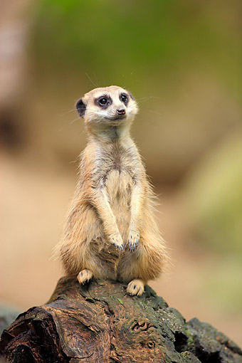 AFW 12 AC0015 01 © Kimball Stock Meerkat (Or Suricate) Sitting On Log Happily