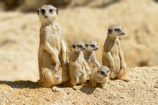 AFW 12 AC0017 01 © Kimball Stock Meerkat (Suricate) Adults Standing With Young