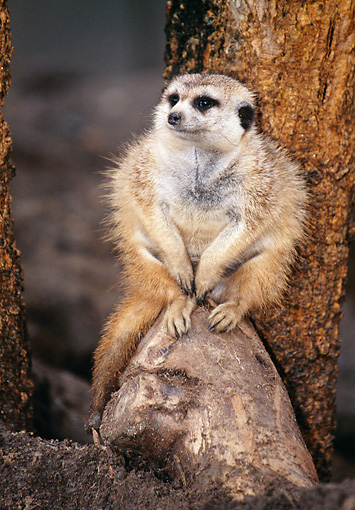AFW 12 BA0001 01 © Kimball Stock Meerkat Sitting On Log