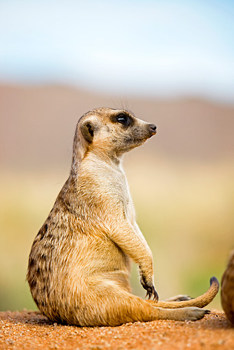 AFW 12 GL0001 01 © Kimball Stock Meerkat Sitting On Sand Namibia