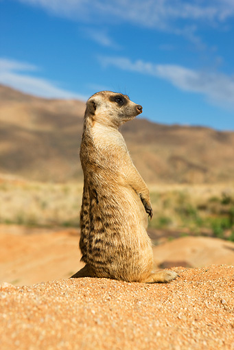 AFW 12 GL0002 01 © Kimball Stock Meerkat Sitting On Sand Looking Around Namibia