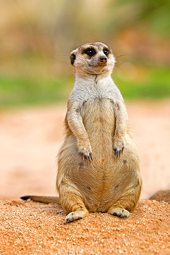 AFW 12 GL0003 01 © Kimball Stock Meerkat Sunning Outside Burrow In Namibia