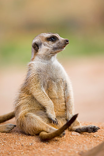 AFW 12 GL0004 01 © Kimball Stock Meerkat Sunning Outside Burrow In Namibia