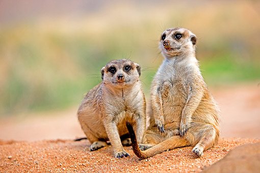 AFW 12 GL0006 01 © Kimball Stock Meerkat Sunning Outside Burrow In Namibia