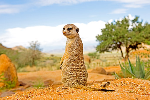 AFW 12 GL0007 01 © Kimball Stock Meerkat Sunning Outside Burrow In Namibia