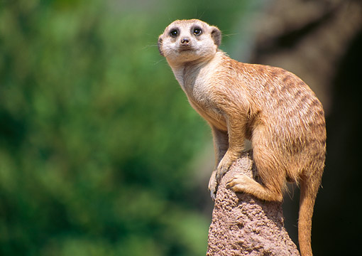 AFW 12 GR0001 01 © Kimball Stock Meerkat Standing On Rock
