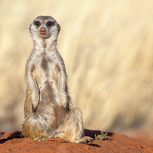 AFW 12 KH0001 01 © Kimball Stock Meerkat Sitting On Burrow In Kalahari Desert, South Africa