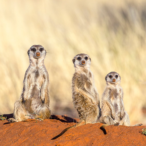 AFW 12 KH0002 01 © Kimball Stock Three Meerkats Sitting On Burrow In Kalahari Desert, South Africa