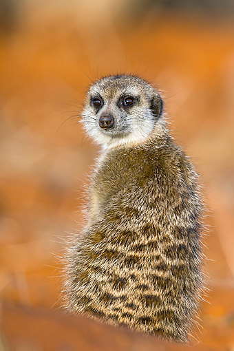 AFW 12 KH0003 01 © Kimball Stock Meerkat Sitting On Burrow In Kalahari Desert, South Africa