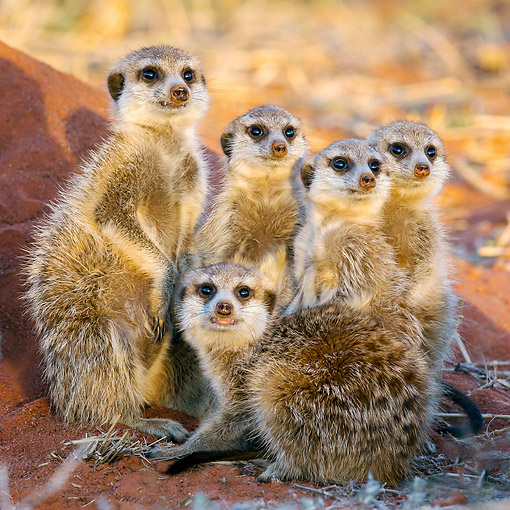 AFW 12 KH0004 01 © Kimball Stock Group Of Meerkats Coming Out From Burrow To Warm Up In Kalahari Desert, South Africa