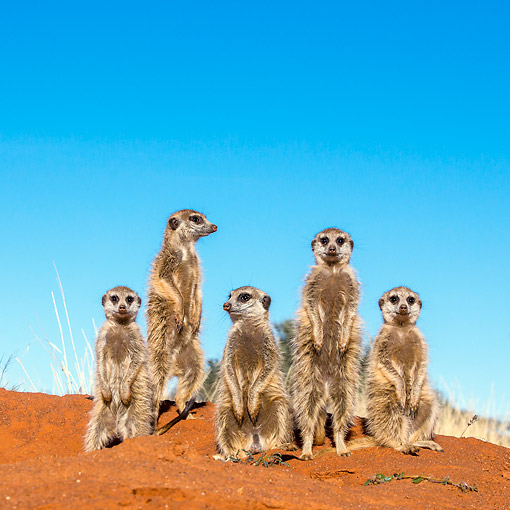 AFW 12 KH0005 01 © Kimball Stock Group Of Meerkats Standing On Burrow To Warm Up In Kalahari Desert, South Africa
