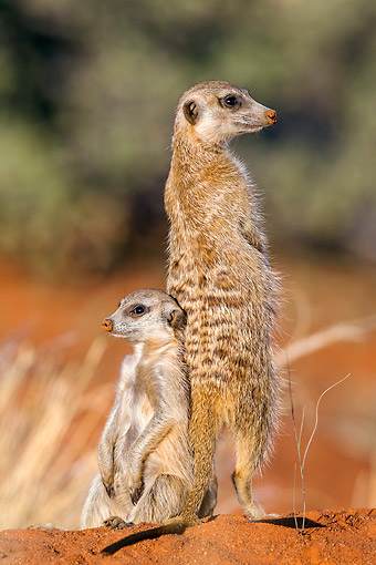 AFW 12 KH0006 01 © Kimball Stock Two Meerkats Standing On Burrow In Kalahari Desert, South Africa