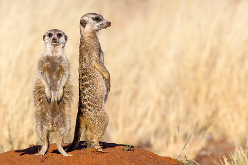 AFW 12 KH0007 01 © Kimball Stock Two Meerkats Standing On Burrow To Warm Up In Kalahari Desert, South Africa