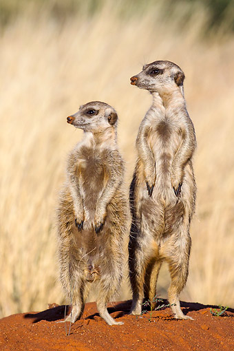 AFW 12 KH0008 01 © Kimball Stock Two Meerkats Standing On Burrow To Warm Up In Kalahari Desert, South Africa