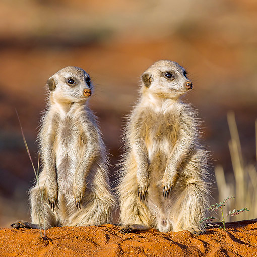 AFW 12 KH0009 01 © Kimball Stock Two Meerkats Sitting On Burrow To Warm Up In Kalahari Desert, South Africa