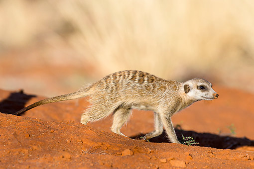 AFW 12 KH0011 01 © Kimball Stock Meerkat Walking On Burrow In Kalahari Desert, South Africa