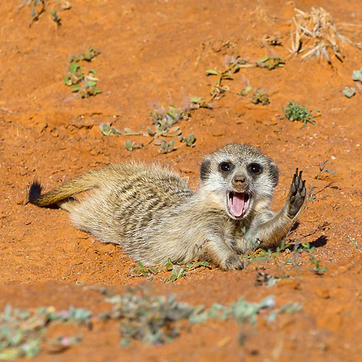 AFW 12 KH0014 01 © Kimball Stock Meerkat Stretching And Yawning On Burrow In Kalahari Desert, South Africa