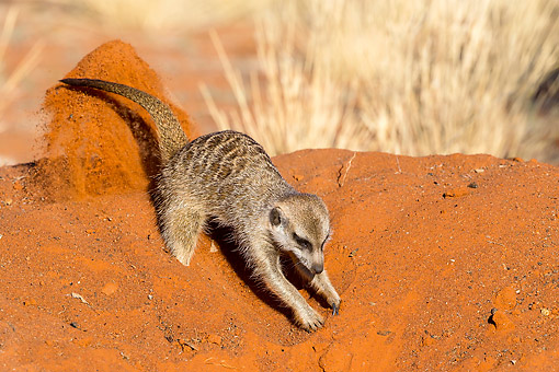 AFW 12 KH0016 01 © Kimball Stock Meerkat Digging On Burrow In Kalahari Desert, South Africa