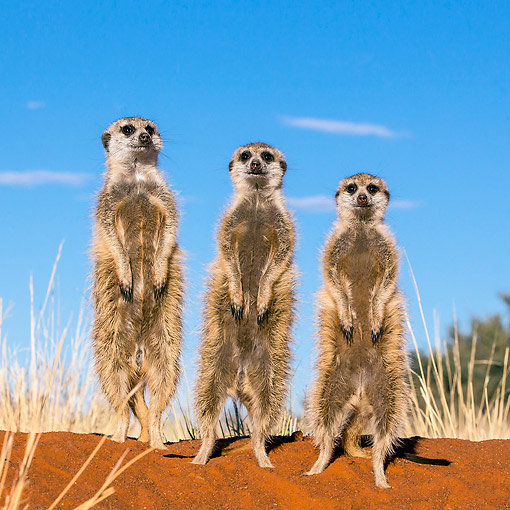 AFW 12 KH0017 01 © Kimball Stock Three Meerkats Standing On Burrow To Warm Up In Kalahari Desert, South Africa