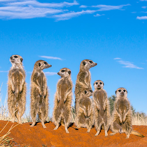 AFW 12 KH0018 01 © Kimball Stock Group Of Meerkats Standing On Burrow To Warm Up In Kalahari Desert, South Africa