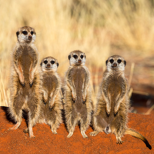 AFW 12 KH0019 01 © Kimball Stock Four Meerkats Standing On Burrow To Warm Up In Kalahari Desert, South Africa