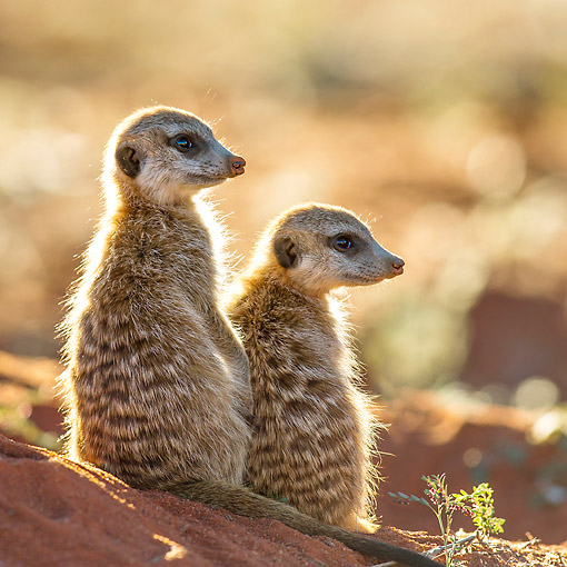 AFW 12 KH0020 01 © Kimball Stock Two Meerkats Warming In Last Light Before Entering Burrow For Night In Kalahari Desert, South Africa