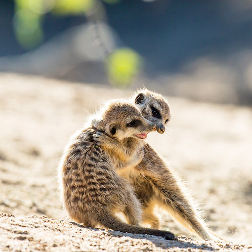 AFW 12 KH0023 01 © Kimball Stock Young Meerkats Play Fighting On Burrow In Kalahari Desert, South Africa