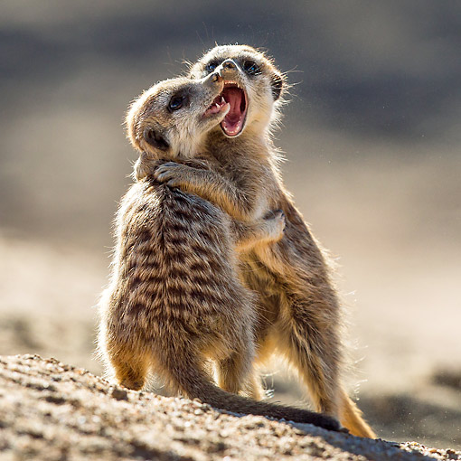 AFW 12 KH0024 01 © Kimball Stock Young Meerkats Play Fighting On Burrow In Kalahari Desert, South Africa
