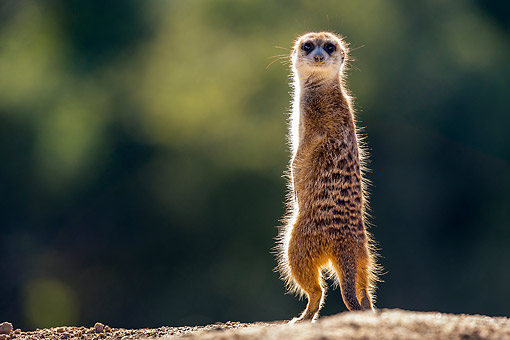AFW 12 KH0025 01 © Kimball Stock Meerkat Standing On Burrow In Kalahari Desert, South Africa