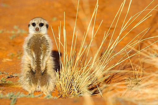 AFW 12 KH0028 01 © Kimball Stock Meerkat Squatting In Desert, South Africa