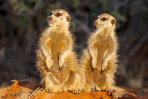 AFW 12 KH0029 01 © Kimball Stock Meerkats Standing In Desert, South Africa
