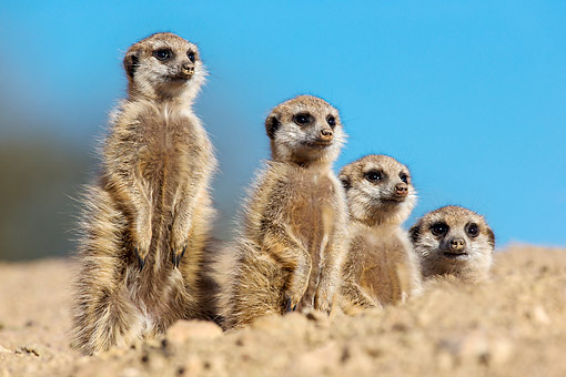AFW 12 KH0030 01 © Kimball Stock Meerkats Standing In Desert, South Africa