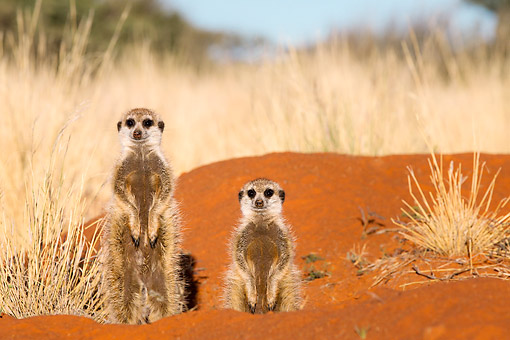 AFW 12 KH0031 01 © Kimball Stock Meerkats Standing In Desert, South Africa