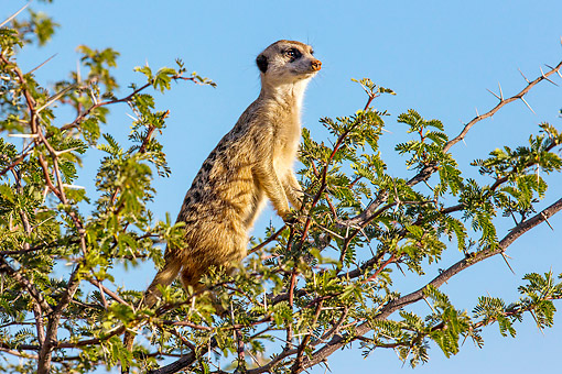 AFW 12 KH0032 01 © Kimball Stock Meerkat Climbing Tree In South Africa