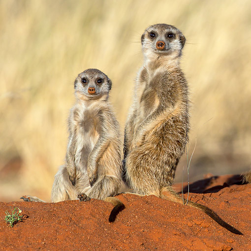 AFW 12 KH0033 01 © Kimball Stock Meerkats Standing In Desert, South Africa