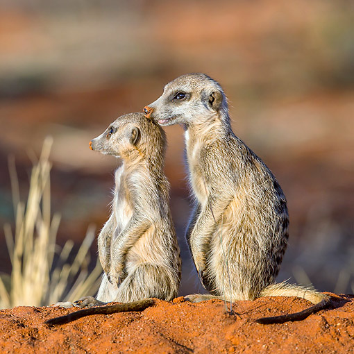 AFW 12 KH0034 01 © Kimball Stock Meerkats Standing In Desert, South Africa