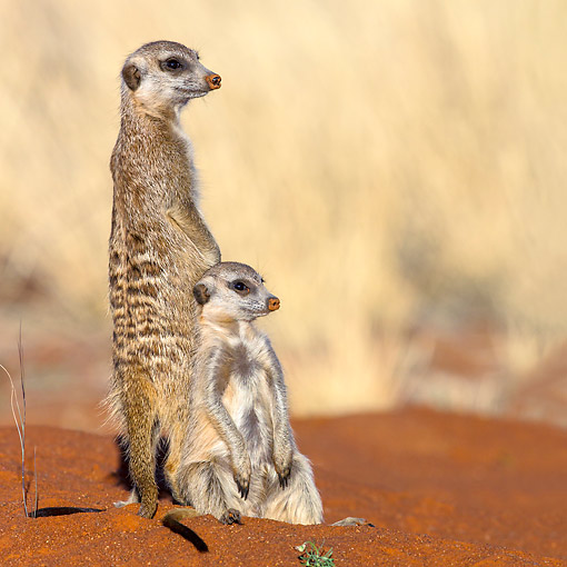 AFW 12 KH0035 01 © Kimball Stock Meerkats Standing In Desert, South Africa