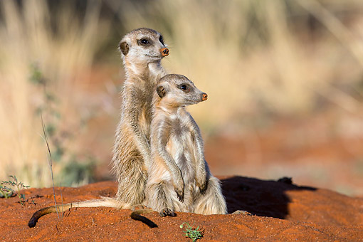 AFW 12 KH0036 01 © Kimball Stock Meerkats Standing In Desert, South Africa