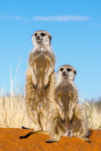 AFW 12 KH0037 01 © Kimball Stock Meerkats Standing In Desert, South Africa