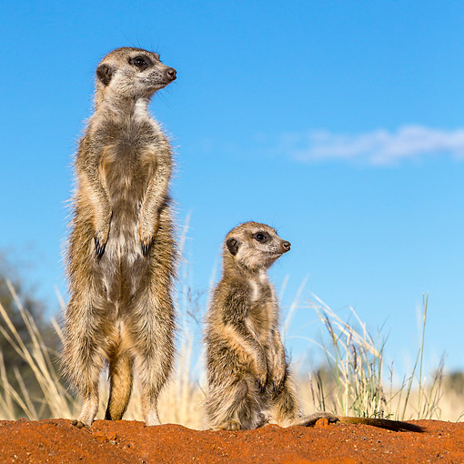 AFW 12 KH0038 01 © Kimball Stock Meerkats Standing In Desert, South Africa