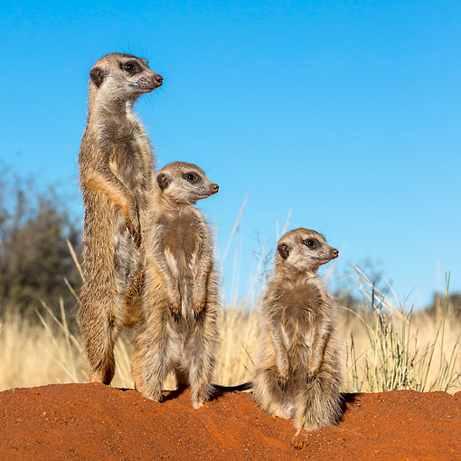 AFW 12 KH0039 01 © Kimball Stock Meerkats Standing In Desert, South Africa