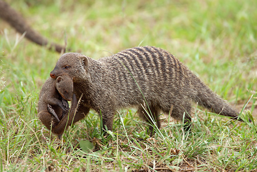 AFW 12 MC0001 01 © Kimball Stock Banded Mongoose Mother Carrying Young In Grassland Tanzania