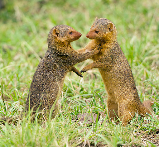 AFW 12 MC0002 01 © Kimball Stock Two Dwarf Mongoose Play Fighting On Grass Tanzania