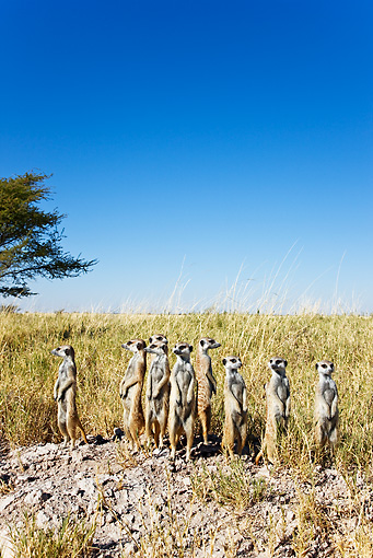 AFW 12 MH0001 01 © Kimball Stock Group Of Meerkats On Lookout Botswana
