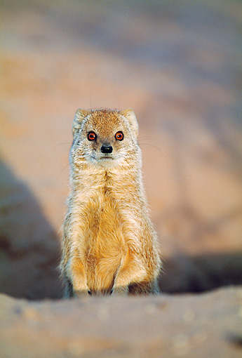 AFW 12 MH0002 01 © Kimball Stock Portrait Of Yellow Mongoose Sitting Upright South Africa