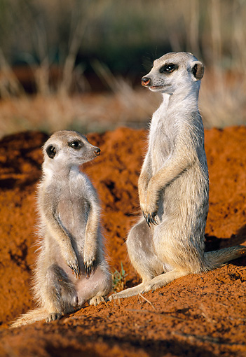 AFW 12 MH0008 01 © Kimball Stock Two Meerkats Sitting Upright Kalahari Desert Africa