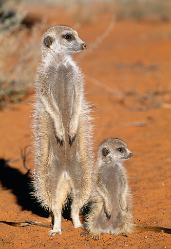 AFW 12 MH0009 01 © Kimball Stock Meerkat Adult And Young Standing Upright On Sand Kalahari Desert Africa