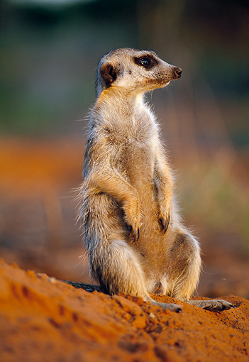 AFW 12 MH0010 01 © Kimball Stock Meerkat Sitting Upright On Dirt Kalahari Desert Africa